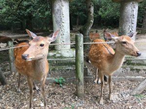 春日大社にいる鹿