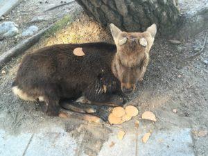 奈良公園で寝ている鹿と鹿せんべい