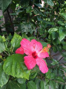 那覇の旭ヶ丘公園のハイビスカスの花
