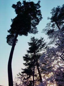 南禅寺の桜4
