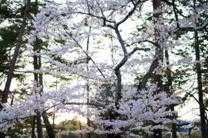 南禅寺の桜5
