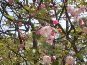 縮景園の彼岸桜のつぼみ
