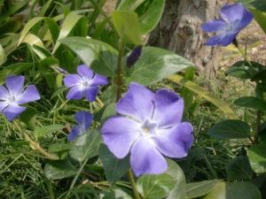 縮景園のツルニチソウの花