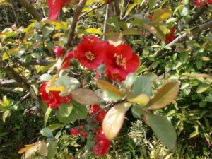 縮景園のボケの花