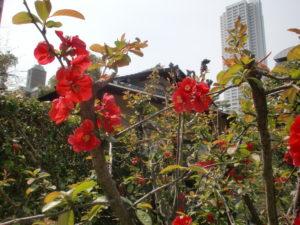 縮景園ボケの花と都会の景色