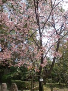 縮景園の彼岸桜1