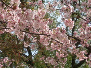 縮景園の彼岸桜2