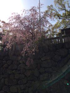桜の抄の近くの桜の木2