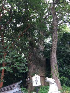 八幡朝見神社の御神木