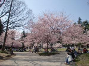 仙台市内でお花見の様子