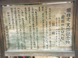 岩國白蛇神社の天然記念物シロヘビの看板
