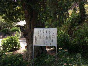 東光寺のナギの木